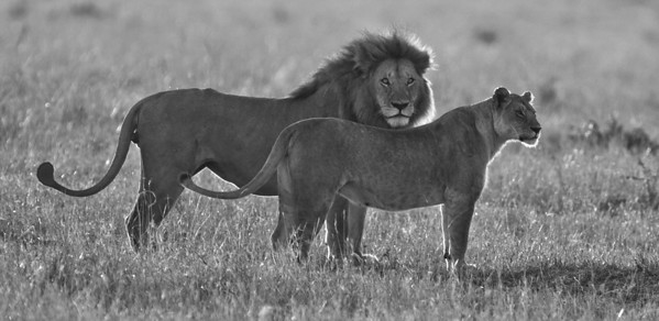 A lion and lioness backlit in the early morning sun