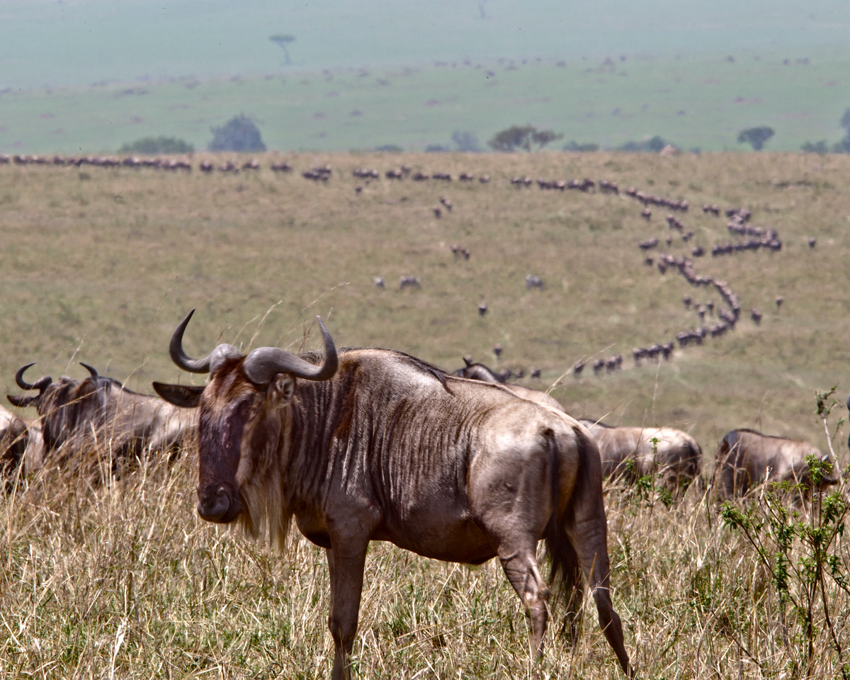 Long lines of thousands of wildebeast wend their way across the plains