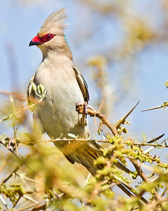 A blue naped mousebird