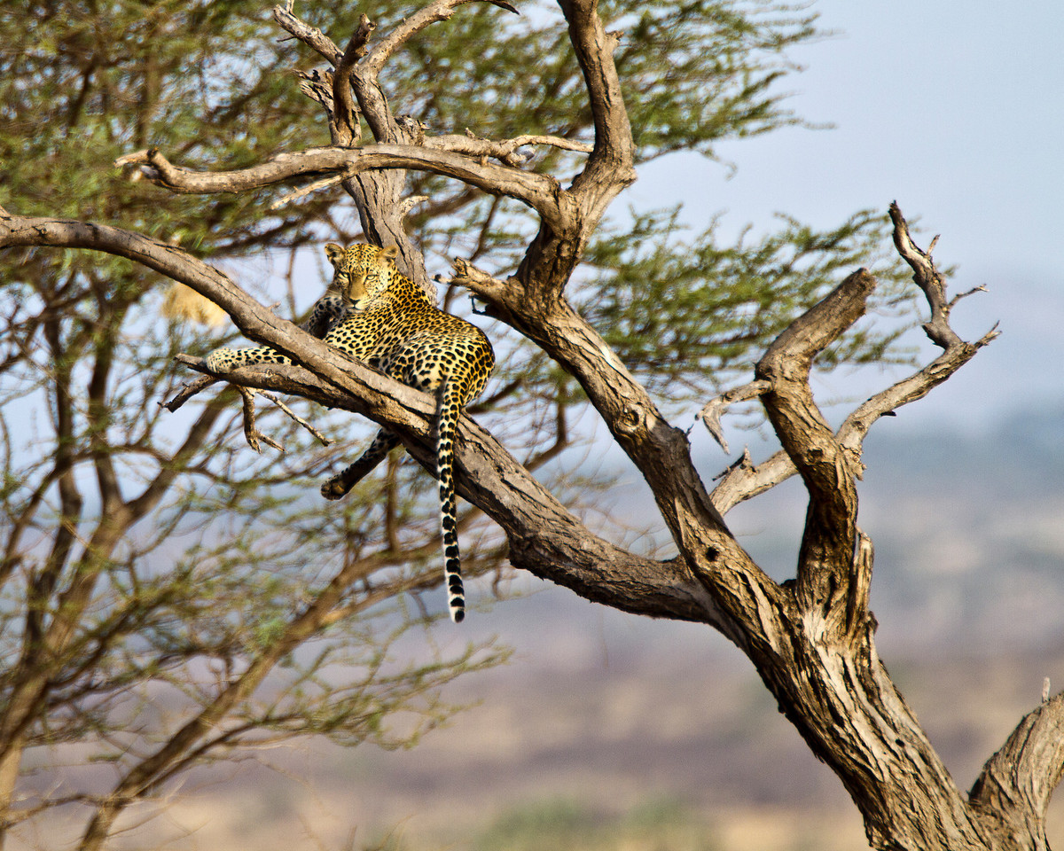 Even resting in the tree the leopard looks menacing