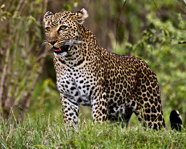 The leopard hunting