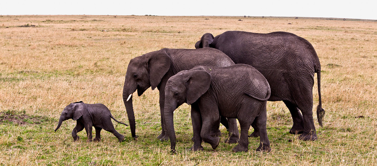 Another baby elephant shows his elders he can lead the way.