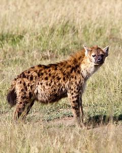 Adult hyenas aren't as cute as their pups