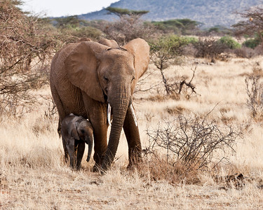 In mom's shadow a baby elephant sets out to explore the day