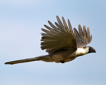 Barefaced goaway bird in flight