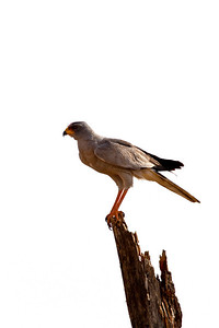 A dark chanting goshawk looks out over the plain