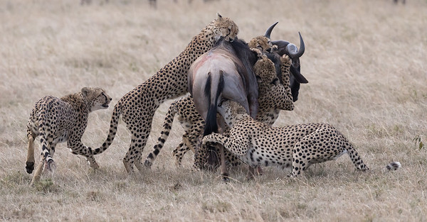 Cheetah Taking Down a Wildebeest