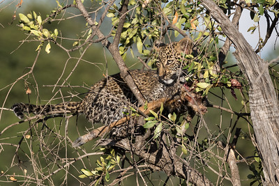 We saw this young leopard up a tree as the sun rose in the Serengeti.  A moment later it went back to gnawing intently on the leg of the impala that mom had brought home not long before.