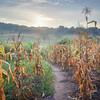 Corn fields at sunrise
