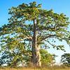 Majestic Baobab
