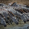 Zebras Drinking - Before