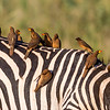 Red Billed Oxpecker and Zebra