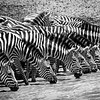 Zebras Drinking - After