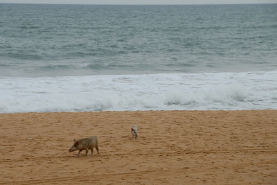 Pigs scouring the beach!