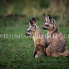 Bat-eared fox kits