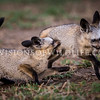 Bat-eared fox kits playing