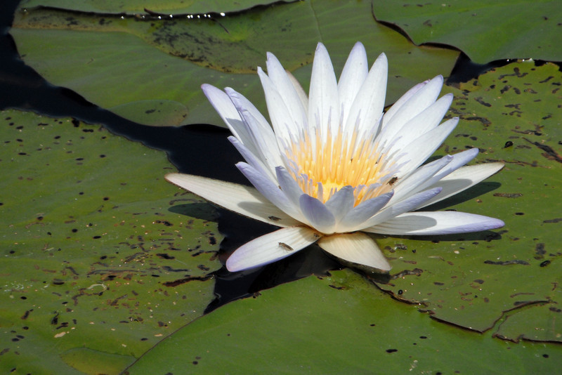 Water Lily and Lilypads