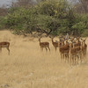 We got the attention of this group of impalas.
