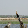 African Darter with Impala in the background