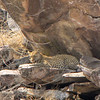 This leopard was REALLY far up a rocky hillside; max zoom used on this photo!