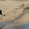 Blacksmith Plover and chick