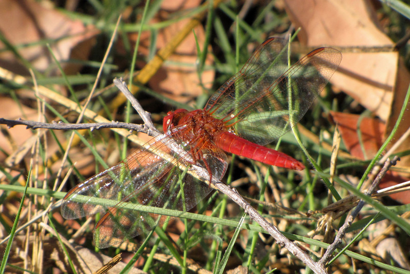 Even the dragonflies are beautiful in Africa!