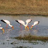 Yellow-Billed Storks feeding (with juvenile stork)