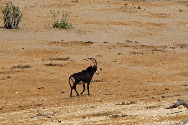 We caught a quick glimpse of a Sable Antelope when it came down to the river for a drink.