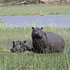 Hippos keeping an eye on us
