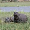 Hippos keeping an eye on us