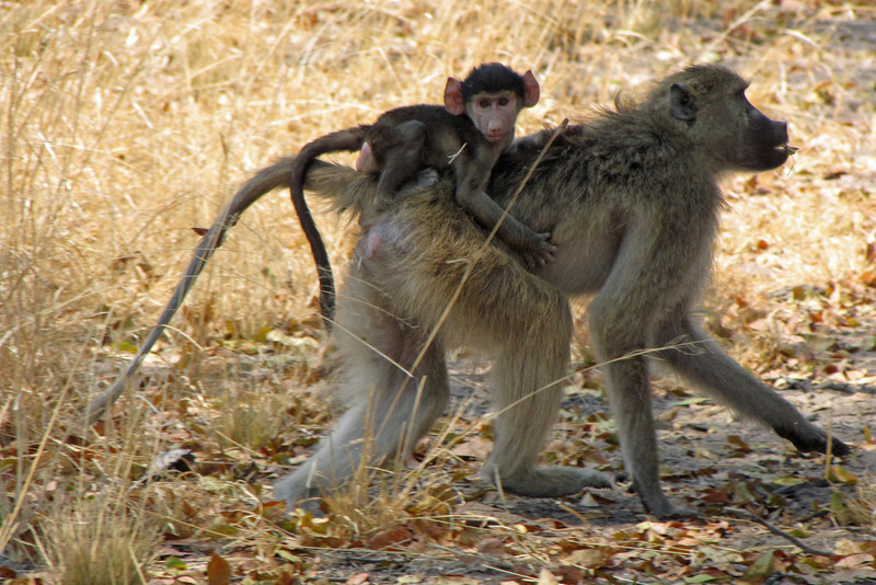 Baby Baboon catches a ride on Mom