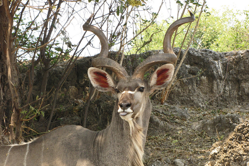 Kudu are such magnificent animals!