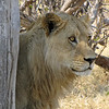 First sighting in Moremi - lions!
