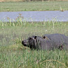 "So the White-Faced Duck said to the Hippo, ""Did you hear the one about...?"""