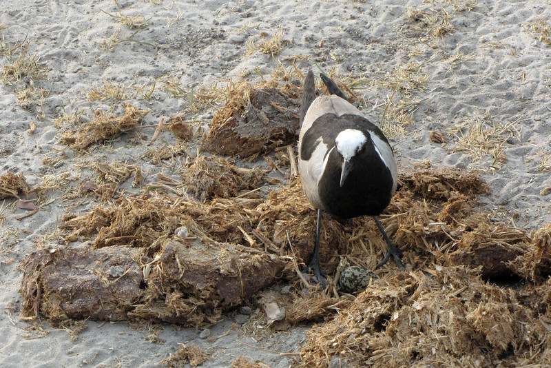 This Blacksmith Plover made an interesting choice of nesting materials... elephant dung!