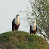 Beautiful pair of Fish Eagles
