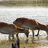 Pair of Red Lechwe, a type of aquatic antelope