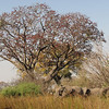 Tree in bloom with elephants