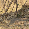 Cheetah resting in the shade on a hot day