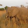 Elephant facial tissue - grass!