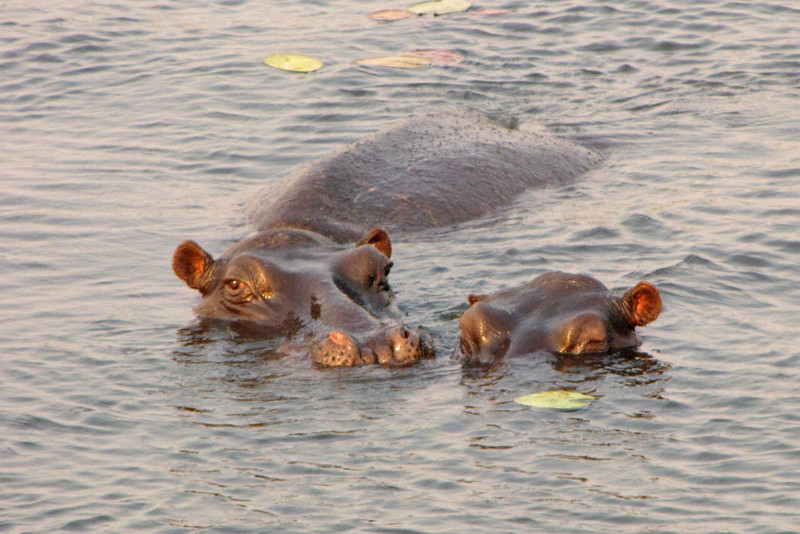 Hippos in the Chobe