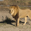 Magnificent leader of a coalition of three male lions