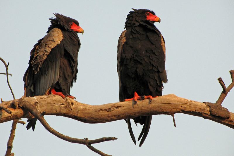 A pair of Bateleur eagles