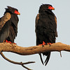 A pair of Bateleur eagles