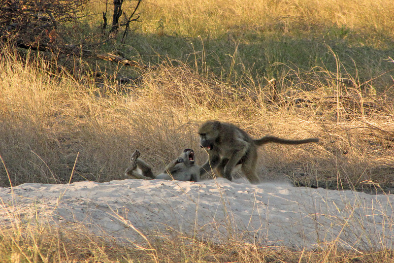 Baboon Smackdown! I think the little guy is losing.