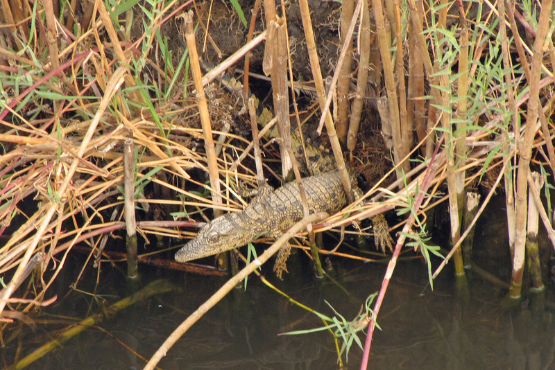 Baby crocodile; the pilot spotted it from atop the boat and swung us over to the bank to see it up close.
