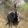 Elephant mud bath