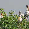 Nesting Yellow-Billed Storks