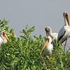 Nesting Yellow-Billed Storks