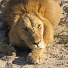 Lions often sit or lie down with one paw flat and the other one curled on its side.